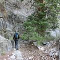 Large Douglas fir.- Notch Peak Hike