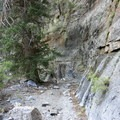Douglas fir.- Notch Peak Hike