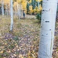 Walking among aspen trees along the Dallas Divide Scenic Route..- Dallas Divide Scenic Route