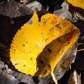 Aspen leaf detail.- Deseret Peak Hike