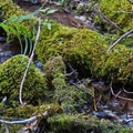 Moss in Elbow Fork stream.- Mount Aire Hike