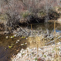 Beaver dam near Affleck Park Campground.- Affleck Park Campground