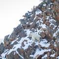 Local resident mountain goat.- Mount Superior