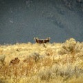 Bighorn sheep in Antelope Island State Park.- Antelope Island State Park