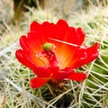 Cacti are plentiful along the route, and in May they are in full bloom.- Notch Peak Hike
