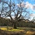 Oak and mistletoe along the Mount Diablo hike.- Mount Diablo Hike via Mitchell Canyon Visitor Center