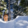 Dogs are welcome on the Tamawanas Falls Hike.- Tamanawas Falls Snowshoe