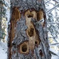 Woodpecker habitat along the trail to Tamawanas Falls.- Tamanawas Falls Snowshoe