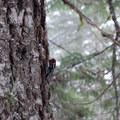 Red-breasted sapsucker.- Tamanawas Falls Snowshoe