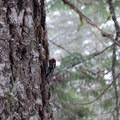 Red-breasted sapsucker.- Tamanawas Falls Snowshoe
