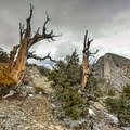 Bristlecone pines.- Notch Peak Hike