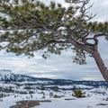 The Matrimony Tree on the ridge.- Matrimony Tree Snowshoe