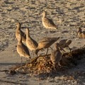 Marbled godwits at Pacific Beach.- Tourmaline Surfing Park