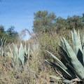 Desert agave (Agave deserti) en route to Eaton Canyon Falls.- Eaton Canyon Falls Hike