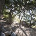 Coastal live oak (Quercus agrifolia) along the Eaton Canyon Trail.- Eaton Canyon Falls Hike