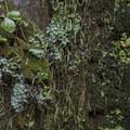 Ferns and moss adjacent to Eaton Canyon Falls.- Eaton Canyon Falls Hike