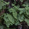 Southern maidenhair fern (Adiantum capillus-veneris) adjacent to Eaton Canyon Falls.- Eaton Canyon Falls Hike