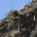 Chaparral vegetation high above Eaton Canyon, including Our Lord's candle (Hesperoyucca whipplei).- Eaton Canyon Falls Hike