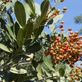 Toyon (Heteromeles arbutifolia) at Eaton Canyon Natural Area and Nature Center.- Eaton Canyon Natural Area + Nature Center
