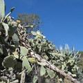 Coastal prickly pear (Opuntia littoralis) en route to Echo Mountain.- Echo Mountain Hike via Sam Merrill Trail