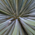 Our Lord's candle (Hesperoyucca whipplei).- Switzer Falls Hike via Gabrielino Trail
