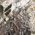 Yerba santa (Eriodictyon crassifolium).- Switzer Falls Hike via Gabrielino Trail