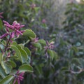 Sugar bush (Rhus ovata) along the trail to Switzer Falls.- Switzer Falls Hike via Gabrielino Trail