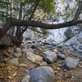 Coastal live oak (Quercus agrifolia) after dropping back into Arroyo Seco Canyon.- Switzer Falls Hike via Gabrielino Trail