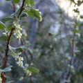 White chaparral current (Ribes indecorum) along the trail to Switzer Falls.- Switzer Falls Hike via Gabrielino Trail