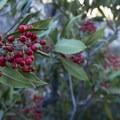 Toyon (Heteromeles arbutifolia).- Switzer Falls Hike via Gabrielino Trail