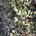 Greenleaf manzanita (Arctostaphylos patula).- Switzer Falls Hike via Gabrielino Trail