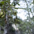 White alder (Alnus rhombifolia) along Arroyo Seco.- Switzer Falls Hike via Gabrielino Trail