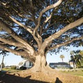 A massive Indian laurel fig (Ficus microcarpa) in Point Fermin Park.- Point Fermin Park
