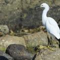 Snowy egret (Egretta thula) at White Point - Royal Palms Beach Park.- White Point - Royal Palms Beach Park