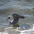 Brown pelicans (Pelecanus occidentalis) at Abalone Cove Shoreline Park.- Abalone Cove Shoreline Park