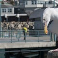 Western gull (Larus occidentalis) on the Redondo Beach Pier.- Redondo Beach + Pier