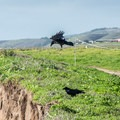 Crows on the Ohlone Bluff Trail.- Ohlone Bluff Hike