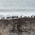 Cormorants perched on a rock.- Ohlone Bluff Hike
