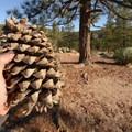 Ponderosa pine (Pinus ponderosa) at Chilao Campground, Manzanita Loop.- Chilao Campground, Manzanita Loop