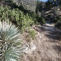 Our Lord's candle (Hesperoyucca whipplei) along the Chilao Interpretive Trail.- Chilao Visitor Center + Interpretive Trail