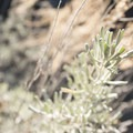 Sagebrush along the Silver Moccasin Trail.- Silver Moccasin Trail Hike via Upper Chilao Trailhead