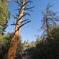 California incense cedar (Calocedrus decurrens) along the Silver Moccasin Trail.- Silver Moccasin Trail Hike via Upper Chilao Trailhead