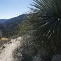 Our Lord's candle (Hesperoyucca whipplei) along the Devils Canyon Trail.- Devils Canyon Trail Hike