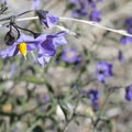 White nightshade (Solanum douglasii) along the Devils Canyon Trail.- Devils Canyon Trail Hike