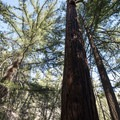 California incense cedar (Calocedrus decurrens) along the Devils Canyon Trail.- Devils Canyon Trail Hike