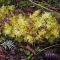 Oregon beaked moss (Kindbergia oregana).- Horse Creek South Trail Hike