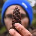 Douglas fir pinecone.- Horse Creek South Trail Hike