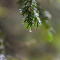 A drop of water clinging to a western hemlock. - Horse Creek South Trail Hike