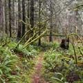 Abundant and lush vegetation in this rain forest. - Horse Creek South Trail Hike