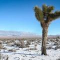 Joshua trees: a perk of veering from the highway.- Alkali Hot Springs